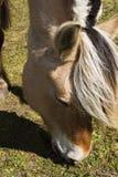 Caballo del fiordo Foto de archivo libre de regalías
