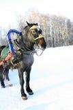 Caballo del invierno Fotos de archivo libres de regalías