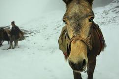 Caballo del invierno Imágenes de archivo libres de regalías
