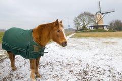 Caballo del invierno en paisaje holandés Imagenes de archivo