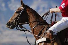 Caballo del polo Imagen de archivo libre de regalías