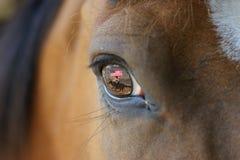 Caballo del rodeo con la reflexión en ojo Imagenes de archivo