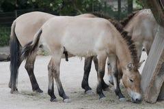 Caballo del ` s de Przewalski, caballos salvajes asiáticos que alimentan en parque zoológico Foto de archivo