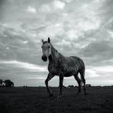 Caballo en blanco y negro imagenes de archivo