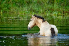 Caballo en el agua de río, Costa Rica Vegetación verde con el animal Agricultura en la America Central Natación del caballo foto de archivo