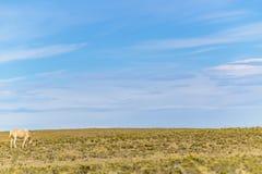 Caballo en el prado, Patagonia, Santa Cruz, la Argentina foto de archivo libre de regalías