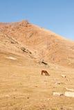 Caballo en el prado - Ushguli - Svaneti superior, montaña del Cáucaso Foto de archivo libre de regalías
