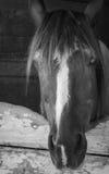 Caballo en establo en la mañana blanco y negro Imagenes de archivo