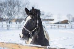 Caballo en invierno fotografía de archivo libre de regalías