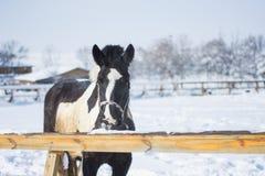 Caballo en invierno Fotografía de archivo