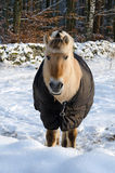 Caballo en la estación del invierno Fotos de archivo libres de regalías