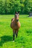 Caballo en la naturaleza Retrato de un caballo, caballo marrón Fotografía de archivo libre de regalías