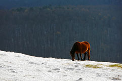 caballo en la nieve fotos de archivo libres de regalías