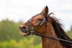 Caballo excelente blanco, cabeza de caballo, Imágenes de archivo libres de regalías