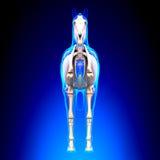 Caballo Front View esquelético - anatomía del Equus del caballo - en backgr azul Imagenes de archivo
