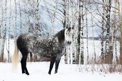 Caballo gris en la nieve blanca Imagenes de archivo