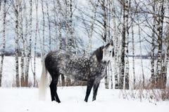 Caballo gris en la nieve blanca Imágenes de archivo libres de regalías