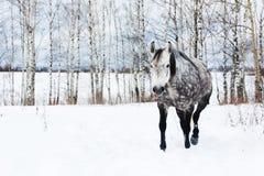 Caballo gris en la nieve blanca Imagen de archivo