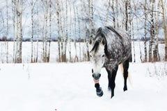 Caballo gris en la nieve blanca Fotografía de archivo libre de regalías