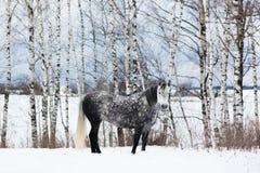 Caballo gris en la nieve blanca Fotos de archivo libres de regalías