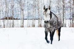 Caballo gris en la nieve blanca Foto de archivo libre de regalías