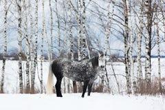 Caballo gris en la nieve blanca Fotos de archivo