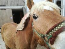 Caballo, Haflinger, potro, marrón, blanco, dulce, lindo, caballo imagenes de archivo