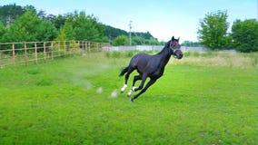 Caballo hermoso negro que galopa en la hierba verde en el prado almacen de video