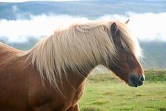 Caballo islandés foto de archivo libre de regalías