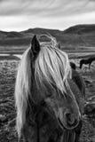 Caballo islandés imagen de archivo libre de regalías