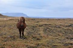 Caballo islandés Fotografía de archivo libre de regalías