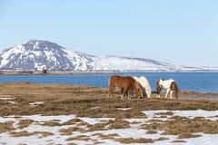Caballo islandés con la montaña y el lago de la demostración Fotos de archivo