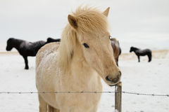 Caballo islandés en invierno Imágenes de archivo libres de regalías
