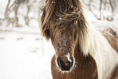 Caballo islandés en tiempo de la nieve Fotos de archivo