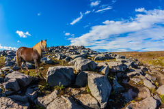 Caballo islandés hermoso con la melena ligera Fotografía de archivo libre de regalías