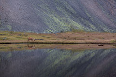 Caballo islandés que pasta Islandia salvaje fotos de archivo libres de regalías
