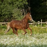 Caballo libre hermoso de la castaña que trota en el campo con las flores Fotografía de archivo