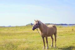 Caballo marrón claro con la melena blanca en prado verde cerca del lago Imagen de archivo libre de regalías