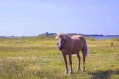 Caballo marrón claro con la melena blanca en prado verde cerca del lago Fotografía de archivo libre de regalías