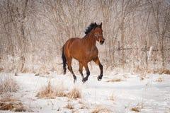 Caballo marrón grande en la nieve Imagenes de archivo