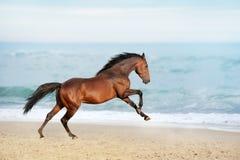Caballo marrón hermoso que galopa a lo largo de la orilla del mar en un día de verano imagen de archivo