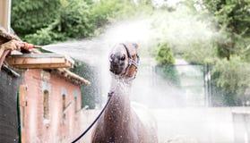 Caballo marrón hermoso que toma un baño de la cabeza Foto de archivo