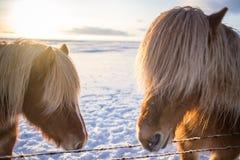 Caballo marrón islandés lindo en el sol de la salida del sol Imagenes de archivo