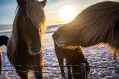 Caballo marrón islandés lindo en el sol de la salida del sol Imágenes de archivo libres de regalías