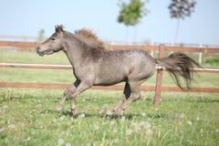 Funcionamiento miniatura americano del caballo Imagen de archivo libre de regalías