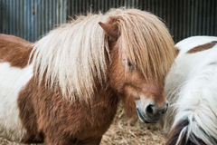 Caballo miniatura de Brown con el pelo largo Foto de archivo libre de regalías