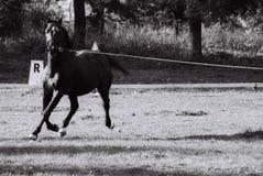 Caballo negro Fotografía de archivo libre de regalías