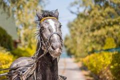 Caballo negro aprovechado cansado hermoso en el campo del otoño Foto de archivo