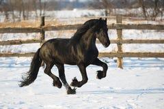 Caballo negro del frisian en invierno foto de archivo libre de regalías