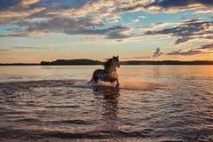 Caballo negro que corre en agua en la puesta del sol Fotografía de archivo libre de regalías